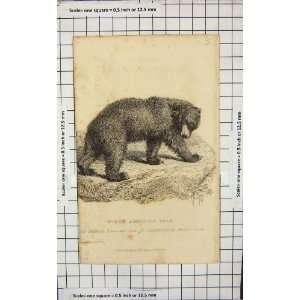 1827 NORTH AMERICAN BEAR WILD ANIMAL NATURE PRINT