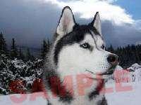 SIBERIAN HUSKY DOG Photo Italian Charm alaskan puppy blue eyes