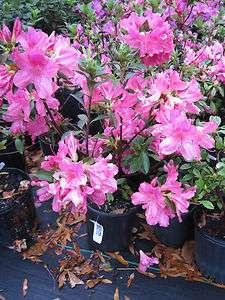 Azalea, Southern Charm, spring flowering Pink flowers