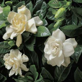 Jasminoides) Photographic Print by G. Cigolini at AllPosters