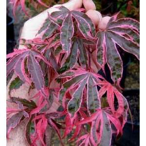 JAPANESE MAPLE SHIRAZZ / 7 gallon Potted: Patio, Lawn