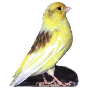 Fancy Canary   Bird   Live Pet